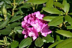 https://flic.kr/p/9T1yA5   Rhododendronblüte  #Flickr #Foto #Photo #Fotografie #Photography #canon6d #Travel #Reisen #德國 #照片 #出差旅行 #Nature #Rhododendren #Flowers #Blumen #Pflanzen