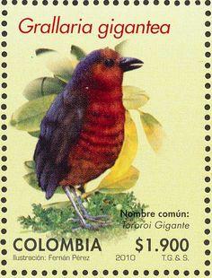 Colombia 2010 - El Tororoí Gigante, también conocido como Chululú Gigante o Gralaria Gigante, sólo habita en Colombia y Ecuador.