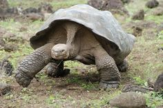 """""""This Galapagos Tortoise was on the move, feet flying. It's surprising how fast they can sprint."""" - photo by Dorothy Thompson, via National Geographic Your Shot;  taken at Galapaguera De Cerro Colorado, San Cristobal, Galapagos Islands, Ecuador"""