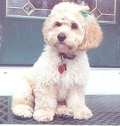 Photo showing a Cockapoo sitting up facing camera. Pic from Google images.