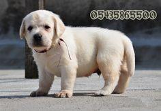 Satılık secereli labrador yavruları  secereli labrador, yavru labrador, labrador retriever,  http://www.evcilara.com.tr/secereli-labrador-yavrularimiz.html