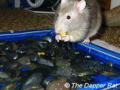 Rat Toy Ideas (extensive DIY list)