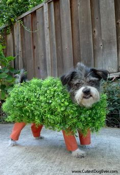 "Dressing your pet up as a ""chia pet"" is a clever Halloween pun. If you've decided to make your own pet costumes this Halloween, this is one that should be at the top of your list. Diy Halloween, Chien Halloween, Homemade Halloween Costumes, Costume Halloween, Halloween Series, Halloween Clothes, Chihuahua Halloween Costumes, Happy Halloween, Halloween Tutorial"