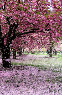 Flowering tree identification pink flowering cherry trees royalty i want to lay in the grass and have flower petals rain down on me mightylinksfo