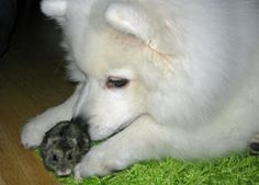 Shiro the Japanese Spitz animal friends