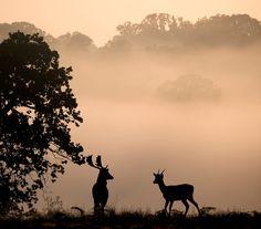 Fallow deer in the mist. - Fallow deer in the mist at Richmond Park.
