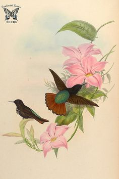 Mandevilla martiana. A monograph of the Trochilidæ, or family of humming-birds, vol. 3 (1861) [J. Gould & H.C. Richter]