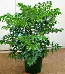 China Doll (Radermachera sinica) - how to care for our indoor plant!