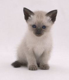 My siamese cat just had a kitten and i really hope it looks like this in a couple of days! :)