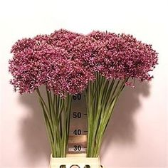 Allium Atropurpureum are also known as ornimental onions. Their scruffy blooms are made up of tiny purple flowers - 70cm tall & wholesaled in 20 stem wraps.