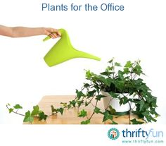 Office plants often face a hostile work environment, and just like people, not all plants are suitable for every line of work. Lighting, unstable temperatures, low humidity, and forgetful caretakers are just some of the harsh conditions that office plants have to contend with.