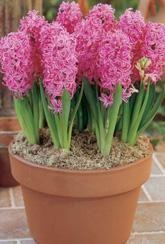 Hyacinth Pink Pearl-Indoor Bulb