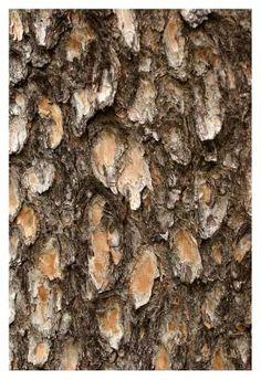 Detail of Pine Tree Bark - Charles Kogod - Fine Art Print