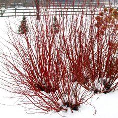 This deer-resistant shrub showcases bright red stems through the winter! http://shop.pallensmith.com/garden/arctic-fire-cornus-farrow/