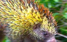 Espécie rara de porco-espinho é encontrada em Pernambuco