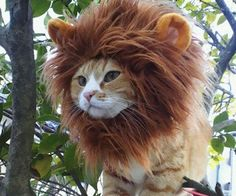 Transform your harmless little feline into a fierce and intimidating king of the jungle with this lion cat hat. As long as you insist on dressing up your cat with things he'll despise, at least make it worth his suffering by choosing this ferocious hat.