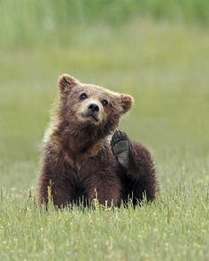 Flea Bag by Mike Tracy on Cute Baby Animals, Animals And Pets, Wild Animals, Bear Cubs, Grizzly Bears, Tiger Cubs, Tiger Tiger, Bengal Tiger, Spiritual Animal
