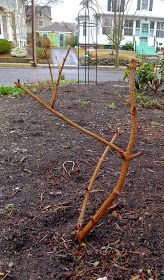 Pruning Black Lace Elderberries - All For Garden Landscaping Plants, Outdoor Landscaping, Black Lace Elderberry, Elderberry Shrub, Green Leaves, Shrubs, Backyard, Outdoor Structures, Landscape