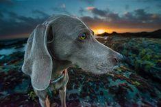 Dog, eye, grey dog and sunset HD photo by Jeff Nissen ( on Unsplash Hunter Dog, 15 Dogs, Dog Spay, Blog Fotografia, Grey Dog, Gray, Dog Feeding, Pet Life, Animals