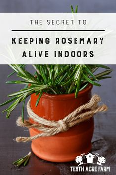 The Secret to Keeping Rosemary Alive Indoors: Growing rosemary indoors is a little tricky.