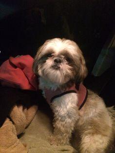 Road trip pup Allie! #sweetshihtzu #puppy #shihtzu