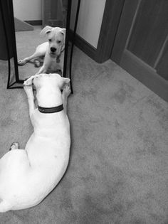 Many of you have asked how baby Sugar is fairing. She has regained her Boxer joie de vivre. This is a photo of her being silly by admiring herself in the mirror.  After lunch today, she ripped off the face of her lamb chop stuffed toy. I tell all my friends, if Sugar had thumbs she would be climbing trees and making mud pies. This is my tomboy girl! Hearty, strong and fearless. Today (9/15/15) is her 7 month birthday!