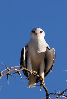 Black-shouldered Kite (Elanus axillaris) - Gleitaar