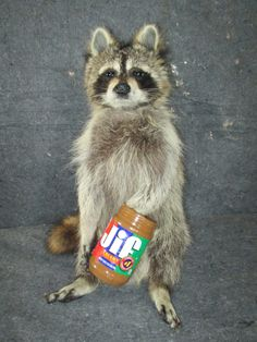 Taxidermy Raccoon Taxidermy Mount with paws in peanut Butter Jar hunting fishing decor NEW by taxidermyjim on Etsy