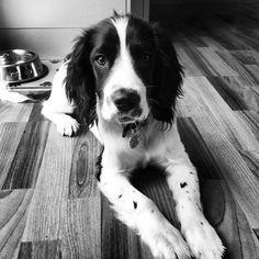 Black and White Springer Spaniel Puppy
