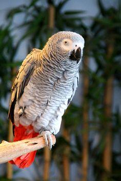 Colorful birds - African Grey Parrot