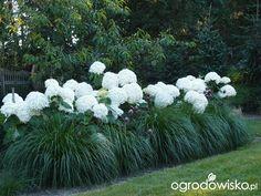 """My """"mundane"""" :) passion Seite 1045 Forum über Hydrangea Garden, Garden Shrubs, Lush Garden, Garden Care, Dream Garden, Limelight Hydrangea, House Landscape, Landscape Design, Rogers Gardens"""