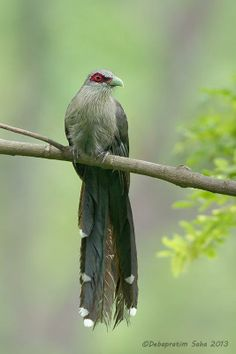The Green-billed Malkoha (Phaenicophaeus tristis) is a species of non-parasitic cuckoo found throughout South and Southeast Asia.