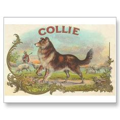 Vintage Collie Dog Postcard