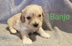 Cavapoo Puppies For Sale, Little Puppies, Corgi, Animals, Corgis, Animales, Tiny Puppies, Animaux, Small Puppies