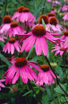 RHS Plant Selector Echinacea purpurea 'Kim's Knee High' PBR / RHS Gardening    July perennial GH