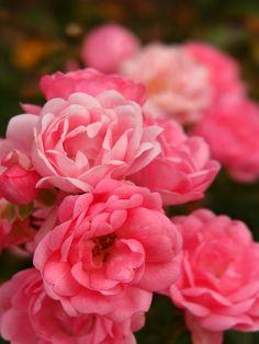 Rose Pixie バラ ピクシー