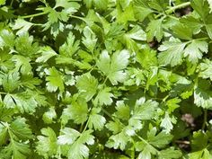 The Body Odd - Who hates cilantro? Study aims to find out