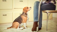 How to Stop Your Dog From Begging - Human food is bad for your dog's health, so you must stop your dog from begging for it or sneaking it. Our trainer explains how you can stop your dog from begging Dog Barking, Dog Park, Dog Behavior, Training Your Dog, Potty Training, Pet Health, Pet Care, Dog Love, Pet Dogs
