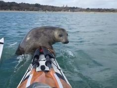 Balancing on kayak is too tricky for this seal - GrindTV.com