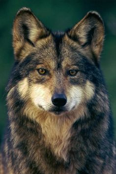 © Robin Silver   Mexican gray wolf (Canis lupus baileyi)