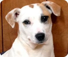 Pittsburgh, PA - Spaniel (Unknown Type)/Feist Mix. Meet Daisy May, a dog for adoption. http://www.adoptapet.com/pet/10813104-pittsburgh-pennsylvania-spaniel-unknown-type-mix