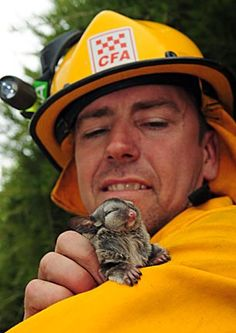 Firefighter and Baby Sugar Glider dragon pig care geckos dogs birds cage enclosure gliders technician Cute Baby Animals, Animals And Pets, Funny Animals, Farm Animals, Sugar Glider Care, Sugar Gliders, Cane Corso, Sphynx, Chinchilla
