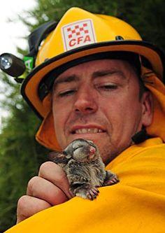 Firefighter and Baby Sugar Glider | Flickr: partage de photos!