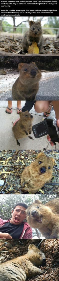 I had never heard of the quokka before, but now I want to write one as a spirit animal.