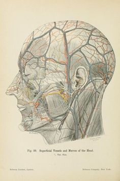 Fig. 29. Superficial vessels and nerves of the head. 1906.