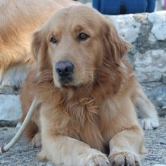 Nothing better than the Love of a Golden We Miss Mach & Molly So:'(