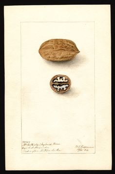 Artist: Passmore, Deborah Griscom, 1840-1911 Scientific name: Carya illinoinensis Common name: pecans Variety: McCallister Geographic origin: Washington, Wilkes County, Georgia, United States Physical description: 1 art original : col. ; 17 x 25 cm. Specimen: 32929 Year: 1904 Notes on original: McCallister hybrid pecan Date created: 1904