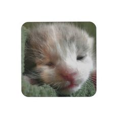 White Calico Kitten Beverage Coaster!  Cuteness overload!  Lots of cat stuff and the store has a new look!  Check it out!  http://www.zazzle.com/conquestkitty*