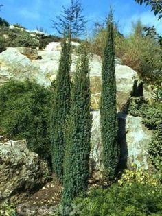 Juniperus communis 'Sentinal' / Säulenwacholder 'Sentinal'