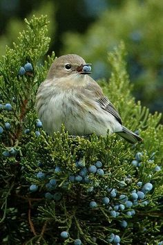 Ideas Nature Animals Birds Berries For 2019 Pretty Birds, Love Birds, Beautiful Birds, Animals Beautiful, Small Birds, Colorful Birds, Little Birds, Nature Animals, Animals And Pets